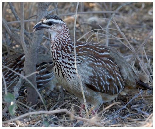 Francolin (Crested) 9732a