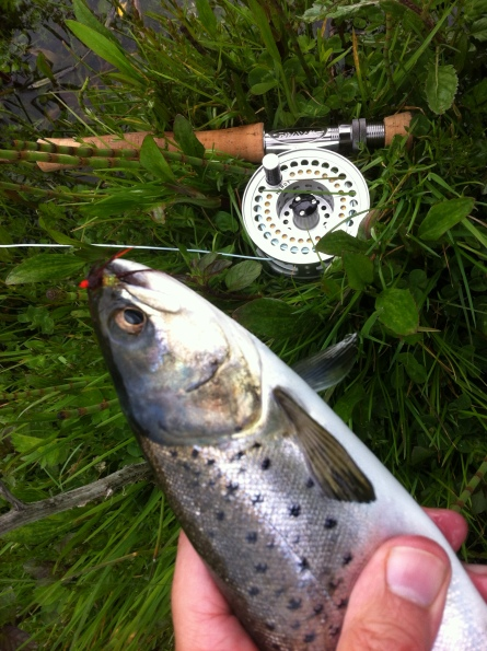 A nice sea trout about to go back