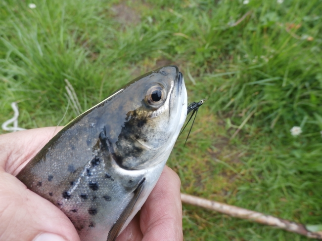 The cheeky Sea trout being unhooked before release