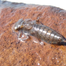 a dragonfly larvae