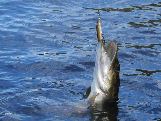 Pike on the Rapala