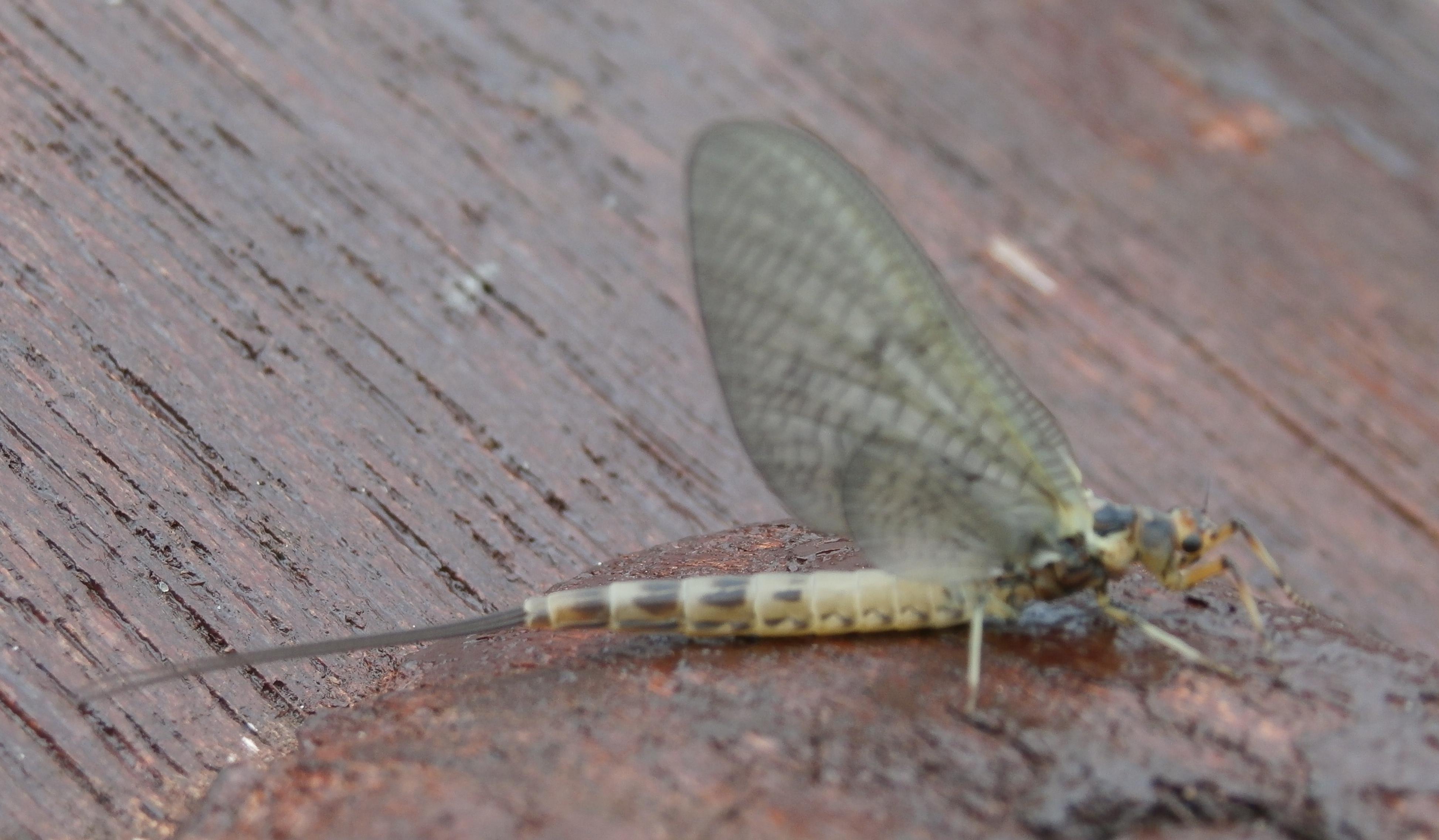 mayfly-dun.jpg