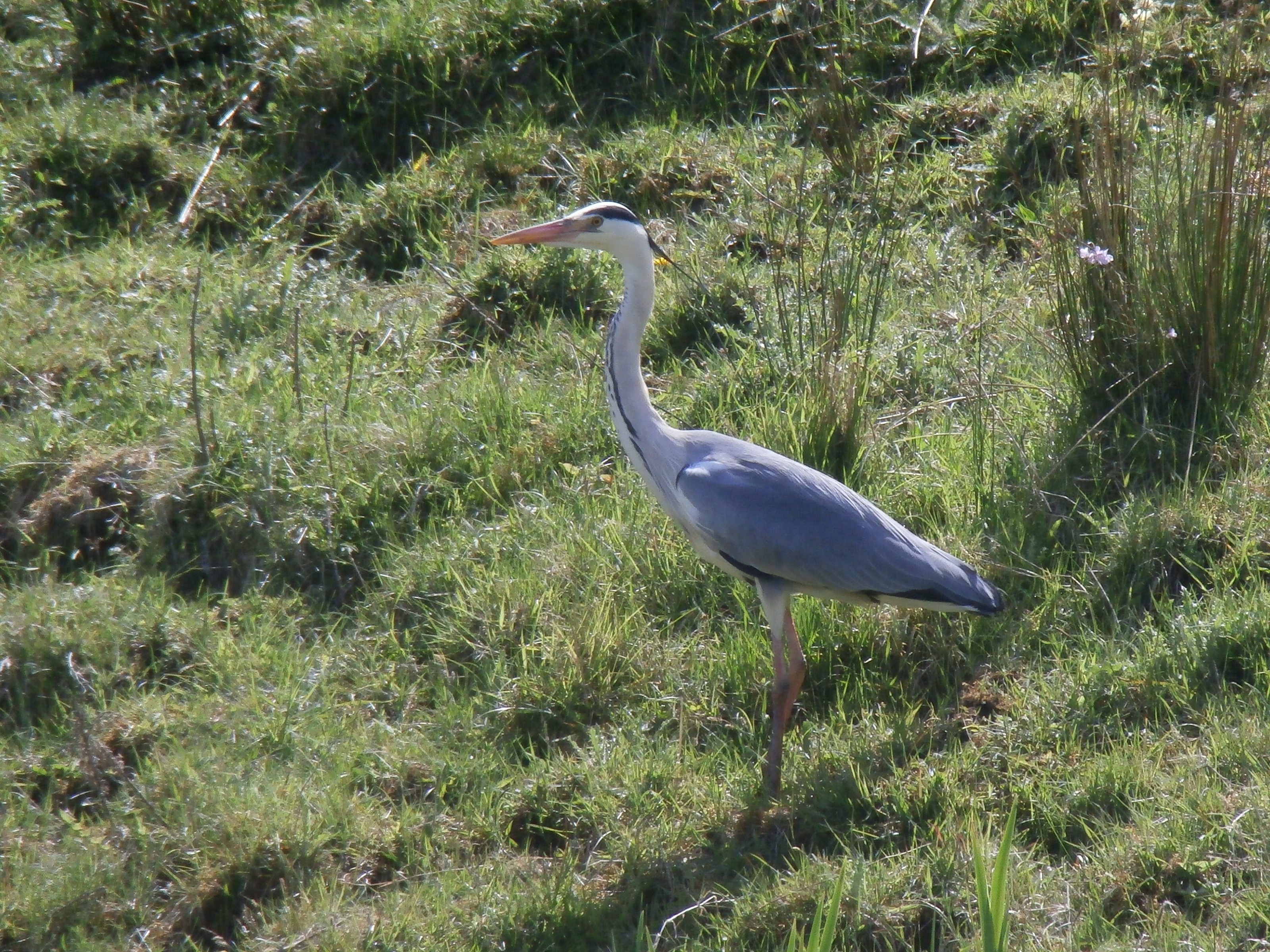 A heron on the banks of the Castlebar river